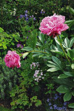 Association : la finesse de l'Allium roseum combinée à l'opulente de la pivoine herbacée. Cet ail vivace du sud de l'Europe se propage très vite en sols secs. Dans cette bonne terre de jardin où la concurrence est grande, il garde gentiment sa place.