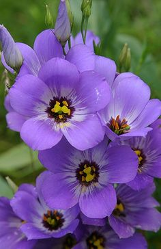 Blue Bells : Wildflower Portraits : Bluebells by Gary Regner Photography Amazing Flowers, My Flower, Purple Flowers, Beautiful Flowers, Blue Bell Flowers, Flowers Nature, Wild Flowers, Flor Magnolia, Purple Garden