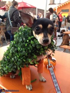 Chia Chihuahuas - Halloween Costume Contest via @costumeworks