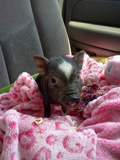 This is Rosalie! she's a Vietnamese potbellied pig crossed with Juliana piglet. She was a runt!