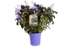Plectranthus Mona Lavender #pohlmansnursery #livingcolour #gardening #australia