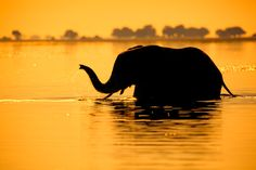 Africa | 'Sunset Crossing' Elephant crossing to mainland at Sunset from one of the islands in Chobe National Park, Botswana. | © Mario Moreno