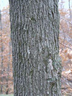 Sugar maples have dark gray bark with furrowed ridges. Maple Tree Bark, Maple Syrup Tree, Tree Bark Identification, Natural Resources, Homesteading, Sugar, Homeschooling, Michigan, Plants