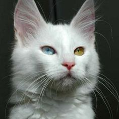 Gato Angorá Turco