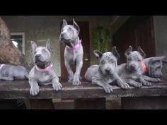 From 20 days To 60 Days - Thai Ridgeback Puppies - Cute Puppies Videos Dog Bucket List, Cute Puppies, Dogs And Puppies, Thai Ridgeback, Cute Puppy Videos, Rhodesian Ridgeback, Chiang Mai, Animal Kingdom, Puppy Love