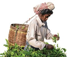 Since Ghograjan Tea Estate has provided consumers the opportunity to buy quality, direct from estate Earl Grey Tea & Loose Leaf Black Assam Tea. We supply customers of every size with authentic, delicious black Assam tea from our farm to your cup. Tea Online, Masala Chai, Earl Grey Tea, Loose Leaf Tea, Opportunity, Black, Chai, Black People