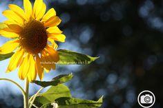 Sunflowers Bakersfield, Ca