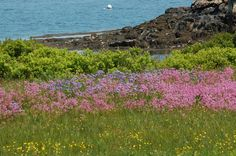 Picture of a wildflower meadow from Cape Rosier, an area along the Maine coast perhaps best known as the location for the last homestead of Helen and Scott Nearing. This meadow contains flag (the blue), ragged robin (pink), and hawkweed (the yellow and bit of orange). See more New England wildflowers in my gallery: http://landscaping.about.com/od/colorfulflowers/ig/types-of-wildflowers/