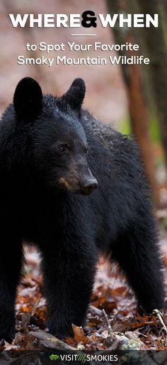 Where & when to spot your favorite Smoky Mountain wildlife