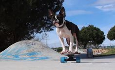 See How this One Year Old Boston Terrier Puppy is Good on the Skateboard! ► http://www.bterrier.com/?p=28743 - https://www.facebook.com/bterrierdogs