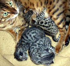 name grace on high bengals breed bengal state in description bengal ... - #bengalkittens -Tops Bengal Cat Breeds at Catsincare.com!