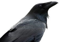 How to Tell a Raven From a Crow | Audubon Magazine  Photograph by Minette Layne/Flickr Creative Commons