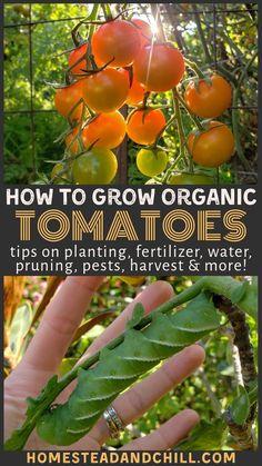 Growing Organic Tomatoes: How to Plant, Feed, Prune, Train & Harvest Tomatoes - Modern Design Organic Gardening, Gardening Tips, Vegetable Gardening, Urban Gardening, Sustainable Gardening, Veggie Gardens, Container Gardening, Organic Vegetables, Growing Vegetables