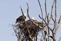 Potato Creek State Park. Bald eagles return to nest in Indiana.