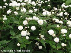 MORSIUSLEINIKKI -  STORMHATTSRANUNKEL. Ranunculus aconitifolius 'Flore Pleno'. Kukinnon väri: valkoinen. Kukinta-aika: touko-kesäkuu. Valovaatimus: aurinkoinen-puolivarjoinen. Korkeus: 60 cm. Kestävyys: melko kestävä. Lisätietoja: myrkyllinen.
