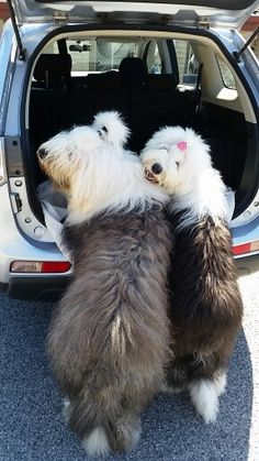 Old English sheepdog Dylan and Daisy waiting to go for a ride