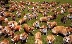 There's no such thing as too many Corgis!