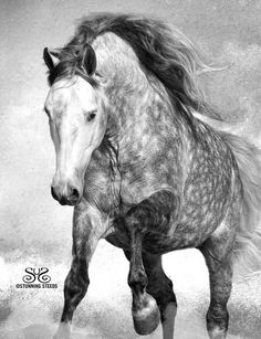 Lusitano Stallion - TIROL - of Musicv City Andalusians - by Stunning Steeds All The Pretty Horses, Beautiful Horses, Animals Beautiful, Cute Horses, Horse Love, Grey Horses, All About Horses, Horse Pictures, Horse Photos