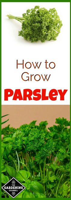 Growing parsley is easy indoors or out.  Try planting this herb in your garden and enjoy the extra flavor in your kitchen.