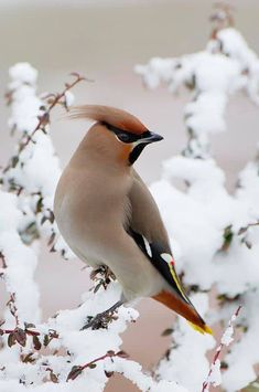 Cedar waxwing — Posing for the cover of Vogue?