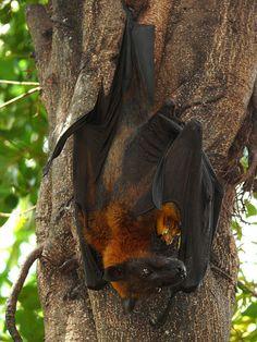 2007 800 303 Saigon Dam Sen Park fruit bat by ngari.norway, via Flickr