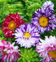Nicky's Seeds supplier of a large range of quality seeds Aster, Plants, Veg Garden, Cottage Garden, Seeds, Flowers, Hanging Baskets, Flower Seeds