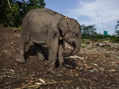 Palm oil's forgotten victims: Sumatran elephants suffer in rush for 'liquid ivory' - The Ecologist http://www.theecologist.org/News/news_analysis/1984027/palm_oils_forgotten_victims_sumatran_elephants_suffer_in_rush_for_liquid_ivory.html