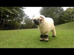 Valais Blacknose Sheep Are the OMGWTF Kind of Cute | The Featured Creature