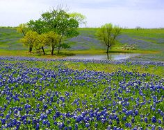 Texas Hill Country in Bloom