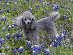 Silver Miniture Poodle just being beautiful