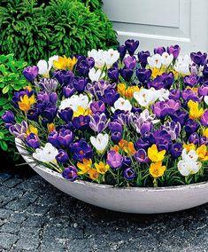 Container full of beautiful crocus flowers! Container full of beautiful crocus flowers! Container Flowers, Container Plants, Container Gardening, Outdoor Flowers, Outdoor Plants, Garden Bulbs, Garden Pots, Bulb Flowers, Flower Pots