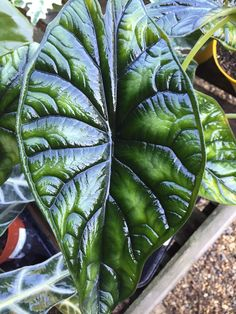 elephant ears and tropicals ALOCASIA baginda 'Dragon Scale' Elephant Ears Plant Another tropical Alocasia with silvery-grey leaves with dark green primary and secondary veins