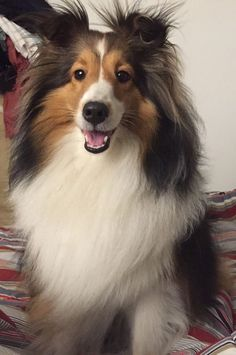 Rough Collie, Collie Dog, Really Cute Puppies, I Love Dogs, Pekingese, Sheltie, Pet Dogs, Dog Cat, Shetland Sheepdog Puppies