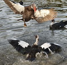 Fight at the duck pond