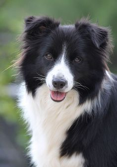 Border Collie One of the smartest of dog breeds, the border collie is not a pet for the faint-hearted. Beautiful Dogs, Animals Beautiful, Cute Animals, Cute Dogs And Puppies, I Love Dogs, Doggies, Border Collie Welpen, Border Collie Puppies, Border Collie Facts