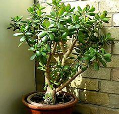 Tlustice – pěstování a léčivé účinky - RadyBydleni.cz Bonsai, Plants, Gardening, Lawn And Garden, Plant, Planets, Horticulture, String Garden