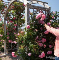 Gardening,Roses,Pink Roses,Vining Roses,