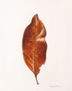 Beverly Allen - Magnolia grandiflora leaf - Watercolour on vellum