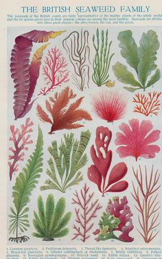 Botanical Sea weed print Algae print sea by theStoryOfVintage Plant Illustration, Botanical Illustration, Sea Plants, Geniale Tattoos, Vintage Botanical Prints, Plant Wall, Seaweed, Wall Art Prints, Ocean