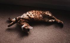 For a Walk on the Wild Side, Think Bengal Cat: Bengal Cat Relaxing on Floor