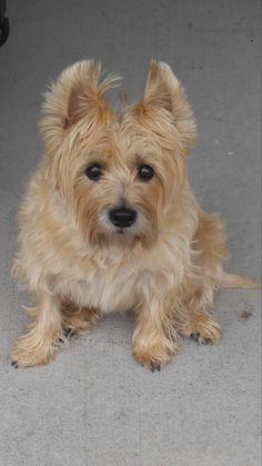 My darling old Cairn Terrier. Her name is Scarlett. http://ift.tt/2tASKhJ