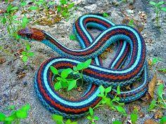 Neon Blue Morph, San  Francisco Garter Snake