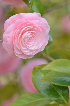 ✯ Camellia Japonica