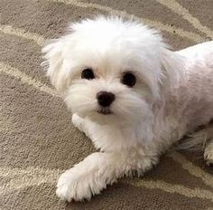 25 haircuts for maltese - Tap the pin for the most adorable pawtastic fur baby apparel! You'll love the dog clothes and cat clothes! Cute Puppies, Dogs And Puppies, Doggies, Maltese Haircut, Shih Tzu Hund, Dog Haircuts, Maltipoo Haircuts, Maltese Dogs, Teacup Maltese Puppies