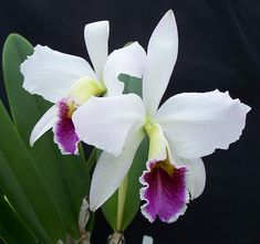 Cattleya: These orchids are most easily recognized for their use in corsages and for having a flower that can last from two to six weeks. They usually flower once a year during spring or fall, but need twice the amount of light than moth orchids to do well inside the home.