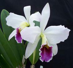 Aprende a cuidar orquídeas vía es.wikihow.com