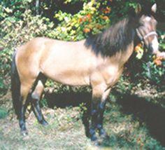 PONTIAC  Dun Gelding - 12.3 hh Foaled - April 13, 2000