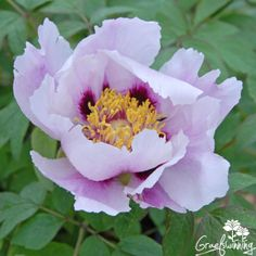 Paeonia Ezra Pound, Tree peony with pale pink petals with a purple glow <3 Graefswinning