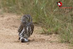 A Pearl-spotted Owlet with rodent prey, Kruger National Park. Kruger National Park, Rodents, Predator, Safari, Wildlife, Pearl, The Incredibles, Tours, Animals