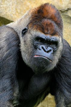 I think he does not like to be photographed. Silverback Gorilla in the most beautiful zoo of Spain: Bioparc Valencia. Primates, Mammals, Nature Animals, Animals And Pets, Cute Animals, Silverback Gorilla, Mountain Gorilla, Tier Fotos, Animal Faces